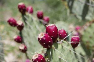 prickly pear cactus used to make our plant based jerky