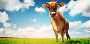 a happy inquisitive cow